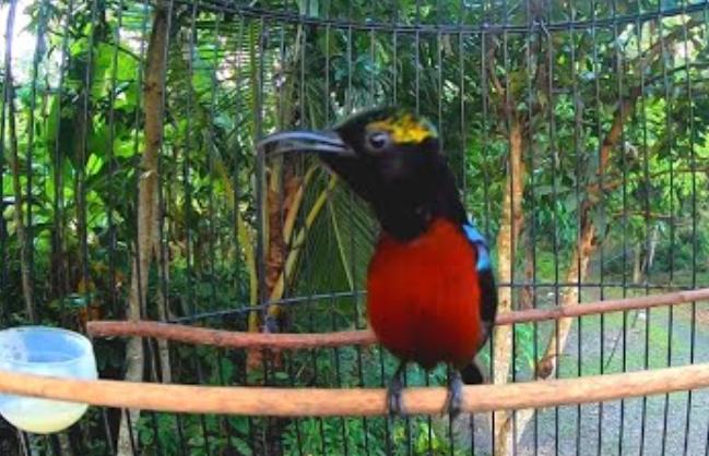 kolibri-ninja-hitam