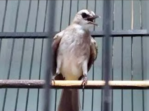 makanan-burung-trucukan-di-alam-liar