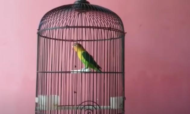 cara-mengatasi-burung-lovebird-birahi-tinggi
