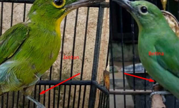 harga-burung-cucak-ijo-trotol