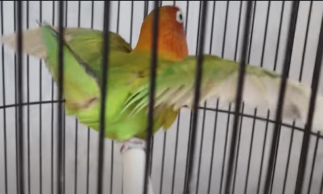 lovebird-betina-birahi-tinggi