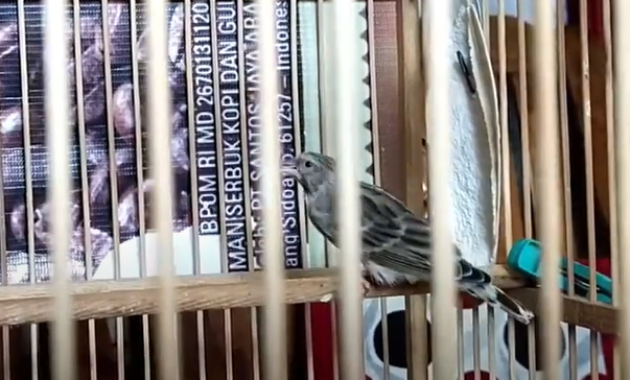 harga-burung-mozambik
