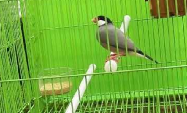makanan-alami-burung-gelatik