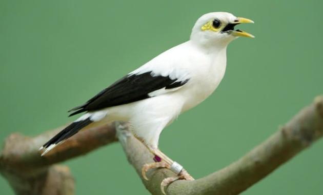 voer-untuk-burung-jalak-putih