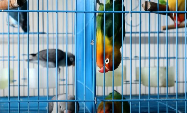 cara-menjinakkan-burung-lovebird-giras