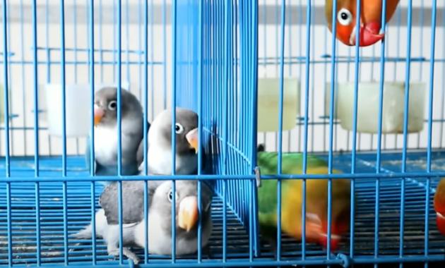 cara-menjinakkan-burung-lovebird-liar