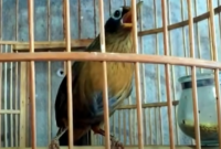 harga-burung-hwamei