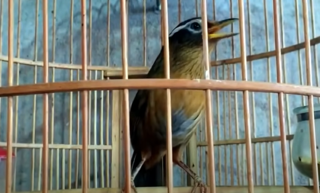 harga-burung-hwamei-wambi