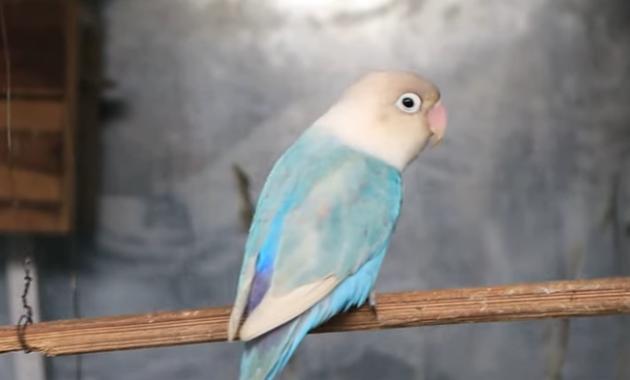 cara-menggemukan-lovebird-yang-kurus