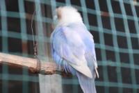 cara-merawat-burung-lovebird-yang-nyilet