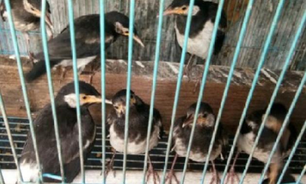 harga-burung-jalak-suren-bahan