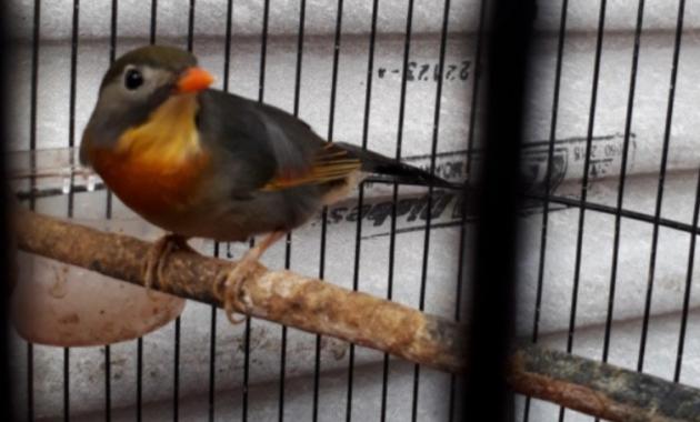 pasaran-harga-burung-robin