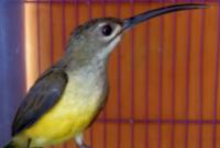 suara-burung -pijantung-pisang