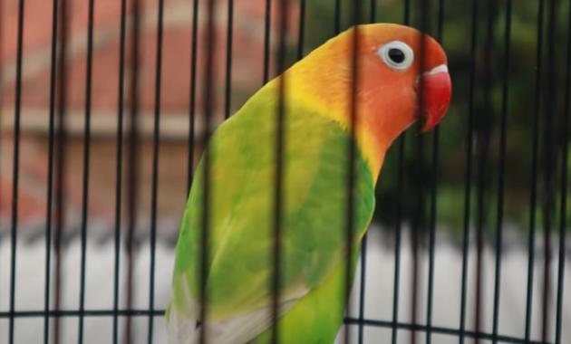 super-n-untuk-lovebird-nyilet