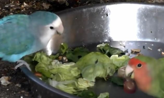 apa-manfaat-bawang-putih-untuk-burung-lovebird