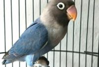 perawatan-lovebird-tipe-basah